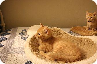 American Shorthair Kitten for adoption in San Jose, California - Teegan