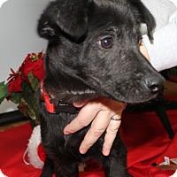 Adopt A Pet :: Humphrey - Lab/shepherd mix - Philadelphia, PA