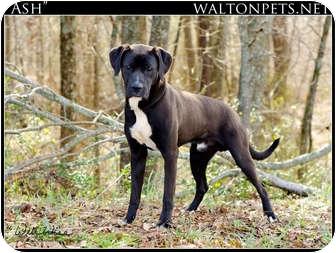 ash the boxador adopted dog 20120249 monroe ga