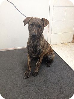 Plott Hound Mix Puppy for adoption in Lancaster, Virginia - Millie