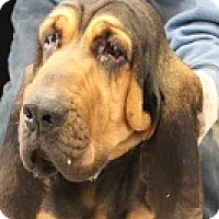 Adopt A Pet :: Hailey - Baltimore, MD