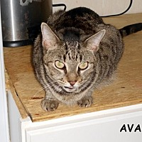 Domestic Shorthair Cat for adoption in Bonita Springs, Florida - Ava