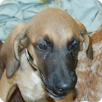 Adopt A Pet :: Savannah - Bradenton, FL