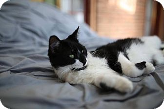 Domestic Shorthair Cat for adoption in Franklin, Indiana - Millie
