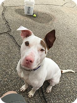 Bull Terrier/Staffordshire Bull Terrier Mix Dog for adoption in Garden City, Michigan - Sheena