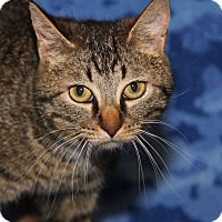 Adopt A Pet :: Purrty Girl (Combo Tested) - Marietta, OH
