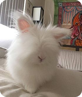 Lionhead Mix for adoption in Los Angeles, California - Aspen