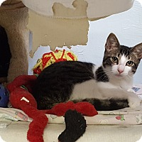 Domestic Shorthair Kitten for adoption in Maryville, Illinois - Chippy