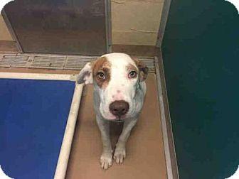 Labrador Retriever/Pointer Mix Dog for adoption in Texas City, Texas - ROBBIE