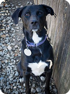 Labrador Retriever Mix Dog for adoption in Breinigsville, Pennsylvania - Dexter