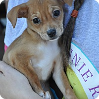 Chihuahua/Terrier (Unknown Type, Small) Mix Puppy for adoption in Atlanta, Georgia - Otis