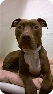 American Pit Bull Terrier/Labrador Retriever Mix Dog for adoption in San Francisco, California - Roan