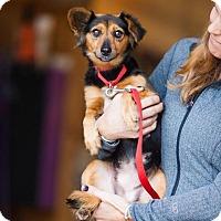Adopt A Pet :: Reba - Breinigsville, PA