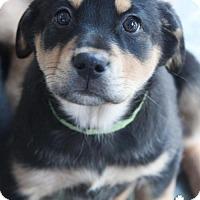 Adopt A Pet :: Dexter - Washington, DC