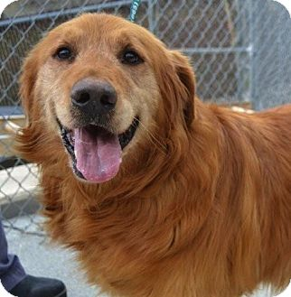 Golden Retriever Dog for adoption in White River Junction, Vermont - Tino