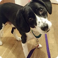 Adopt A Pet :: Oreo -Courtesy List - Richmond, VA