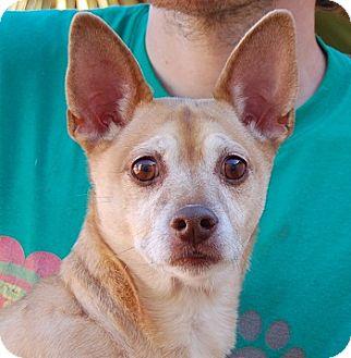 Dachshund/Chihuahua Mix Dog for adoption in Las Vegas, Nevada - Erika