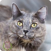 Domestic Longhair Cat for adoption in Sierra Vista, Arizona - CeeCee