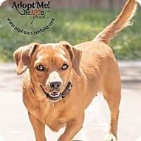 Adopt A Pet :: Little Bit - Belton, MO
