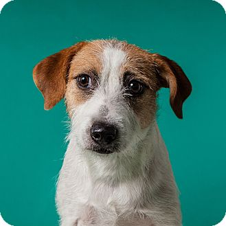 Parson Russell Terrier/Jack Russell Terrier Mix Dog for adoption in Houston, Texas - Annie