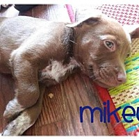 Adopt A Pet :: Mikey - Wilmington, DE