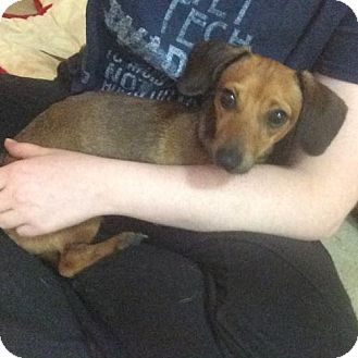 Dachshund Dog for adoption in Helotes, Texas - Rascal