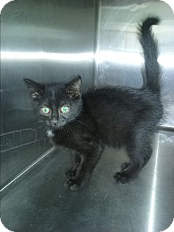 Domestic Shorthair Kitten for adoption in Olivet, Michigan - Duncan