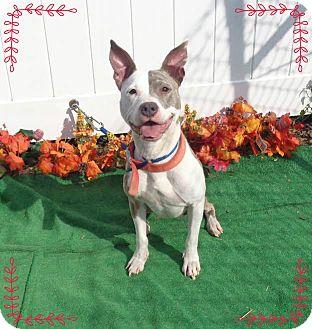 Pit Bull Terrier/Terrier (Unknown Type, Medium) Mix Dog for adoption in Marietta, Georgia - SUGA
