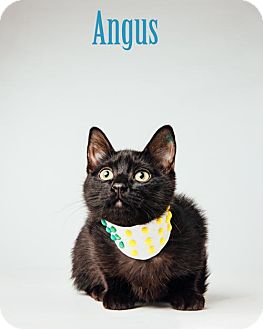 Domestic Shorthair Cat for adoption in Houston, Texas - Angus - Dog & Kid friendly