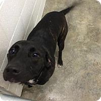 Adopt A Pet :: Bella Boo - Paducah, KY