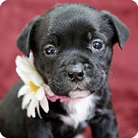 Pit Bull Terrier/Retriever (Unknown Type) Mix Puppy for adoption in Picayune, Mississippi - Blanca