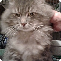 Maine Coon Cat for adoption in Stafford, Virginia - Brutus