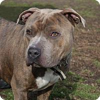 Adopt A Pet :: Romeo A34248459 - Westampton, NJ