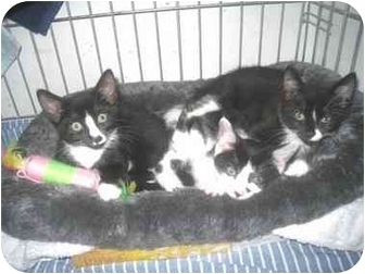 Domestic Shorthair Kitten for adoption in Quincy, Massachusetts - Kittens!