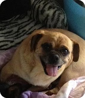 Pug/Beagle Mix Dog for adoption in Poway, California - Homer