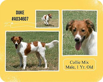 Border Collie Mix Dog for adoption in Lufkin, Texas - Duke