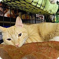 Adopt A Pet :: Adolpho - The Colony, TX