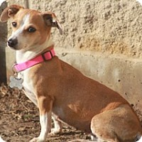 Adopt A Pet :: Della-apt size!MEET HER - Norwalk, CT