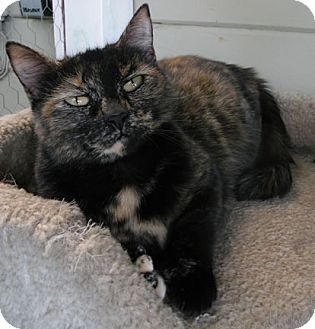 Domestic Shorthair Cat for adoption in Anacortes, Washington - Bindi