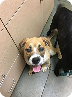 Boxer/Bulldog Mix Dog for adoption in Brattleboro, Vermont - Dexter