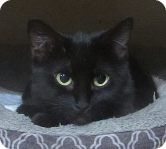 Domestic Shorthair Cat for adoption in Jackson, Missouri - VICKI