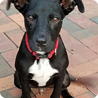 Labrador Retriever Mix Puppy for adoption in Lithia, Florida - Spark