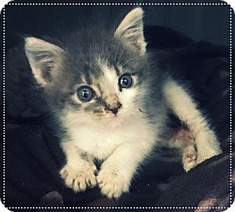 Domestic Mediumhair Kitten for adoption in Los Alamitos, California - Mario