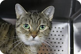 Domestic Shorthair Cat for adoption in Sarasota, Florida - Chirpa