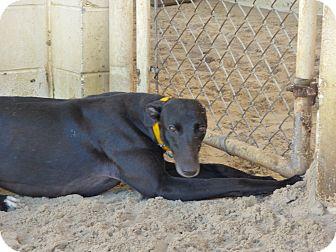 Greyhound Dog for adoption in Aurora, Ohio - Camille