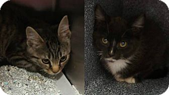 Domestic Shorthair Kitten for adoption in Henderson, North Carolina - Wanda & Warren