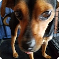 Miniature Pinscher Mix Dog for adoption in Fullerton, California - Princess