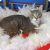 Adopt A Pet :: Caivin - Glendale, AZ
