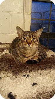 Domestic Shorthair Cat for adoption in Glenpool, Oklahoma - Indie
