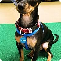 Adopt A Pet :: Dodger - Monrovia, CA